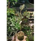オリーブの木(オリーブ苗木) サンタ カテリーナ(接ぎ木)(イタリアSナーセリー) バック6号鉢