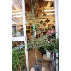 オリーブの木(オリーブ苗木) シプレッシーノ7号鉢