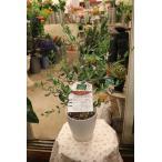 オリーブの木 タジャスカ5号鉢 3年生