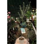 オリーブの木(オリーブ苗木) UC13A6(アメリカン・カリフォルニアクイーン)5号鉢