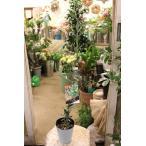 オリーブの木(オリーブ苗木) J5 4号ロングポット