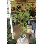 (観葉植物・トネリコ) 斑入りシマトネリコ 天の川(登録品種) 6号鉢