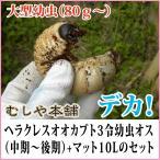 カブトムシの王様 大型ヘラクレスオオカブト3令中期〜後期幼虫オス+マットのセット (ヘラクレスヘラクレス)(カブトムシ 幼虫)