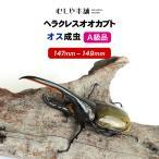 ヘラクレスオオカブト成虫 オス超大型の147〜149mm