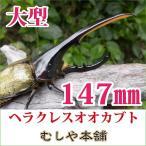 大型ヘラクレスオオカブト成虫 オス147mm