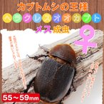 ヘラクレスオオカブト成虫 メス55〜59mm カブトムシの王様 ヘラクレスヘラクレス