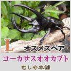 コーカサスオオカブトムシ成虫オスメスペア Lサイズ 外国産カブトムシ・成虫