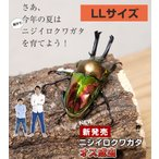 ニジイロクワガタ成虫 オス LLサイズ 外国産 クワガタ 昆虫