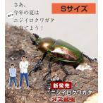 ニジイロクワガタ成虫 メス Sサイズ 外国産 クワガタ 昆虫