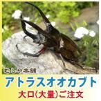アトラスオオカブト成虫 ペア M〜Lサイズ【100セット】【大口・大量購入】