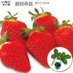 いちご 宝交早生 10.5cmポット苗 ほうこう イチゴ