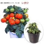観賞・鉢栽培専用 ミニトマト レジナ 12cmポット実生苗