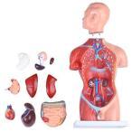 人体模型 男性モデル リアルタイプ 44? 新品箱なし 人体解剖図 内臓 標本 パーツ取り外し可能 教材 学校 病院 JK-4325A