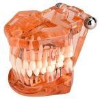 歯の模型、歯の変性のための1個の歯の歯の歯の模型実演研究、オレンジ