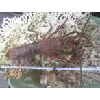 Shrimp - ジャンボ伊勢海老 1尾 1.1kg超