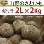 富山県産里芋 山野のさといも 泥つき 2Lサイズ ...
