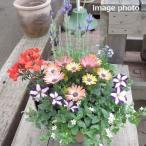 誕生日  寄せ植え 人気  おまかせ フロントタイプ 春花苗 送料無料 鉢花 鉢植え ギフト  ガーデニング
