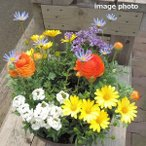誕生日  寄せ植え 人気 おまかせ ラウンドタイプ 春花苗 送料無料 鉢花 鉢植え ギフト ガーデニング