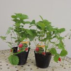 ワイルドストロベリー 3.5号ポット×2株 ハーブ苗 寄せ植え・ガーデニング・お茶・グランドカバーに