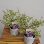 ミントブッシュ ミラクルスター 3号ポット×2株セット 花苗・ポット苗・ハーブ苗 寄せ植え・ガーデニングに