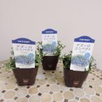 サントリー アズーロ コンパクト スカイブルー 3.5号ポット 同色3株セット 花苗 ロベリア 鉢植え 花壇 寄せ植え ガーデニング