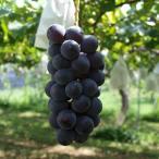 巨峰 4kg ブドウ ぶどう 葡萄 贈答 ギフト 信州 種無し 皮ごと 国産