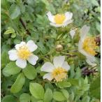 トゲナシノイバラ(棘無し野薔薇) 白花