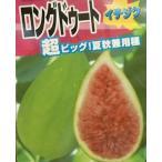 【大株】バローネ(バナーネ) ロングドゥート (ジャンボイチジク):果樹苗