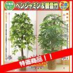 限定販売 ベンジャミン&観音竹 特別2個セット 大型 観葉植物店舗やリビングにもお勧め 観葉 植物
