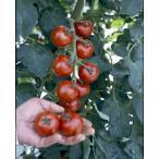 トマト名人「坂本さんのフルーツトマト」9cmポット苗 2本セット【4月中旬〜5月上旬発送分予約】