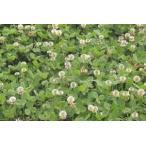 緑肥 ホワイトクローバー 10kg