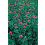 緑肥 レッドクローバー種子 500g