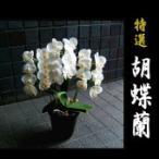 胡蝶蘭 あす つく  還暦祝い ファレノプシス バレンタイン デーにも
