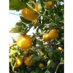 其它 - 熊本県産 産地直送 西村果樹園 さわやか晩柑 河内晩柑 (家庭用)10kg