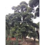 イヌマキ 犬槙 樹高6.9m 幹直径53.0cmシンボルツリー 巨木 羅漢松