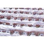 農業用マルチシート 国産オリジナルシルバーマルチ 厚さ0.02mmX幅180cmX長さ200m(無孔)直送品