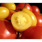 イエローアイコ(ミニトマト) 1kg 熊本県産 送料別/ 嘉島町 藤瀬さんのトマト