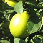 レモン 5kg 熊本県産 送料別/三角町・中山さんのレモン(品種:メイヤー系グラント)
