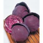 紫キャベツ苗 パワールビー(タキイ) 7.5cmポット