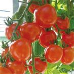 ミニトマト サンチェリーピュア 実生苗 9cmポット レビューを書いておまけをゲット