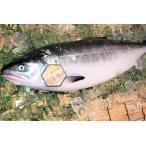 北海道産 時鮭トキシラズ 【お中元などギフト】に!身がしまって脂のり最高の若鮭!【姿切身】 1尾(3kg前後)