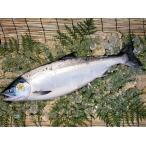 北海道産 時鮭トキシラズ 【お中元などギフト】身がしまって脂のり最高の若鮭!【姿切身】1尾(2.5kg前後)