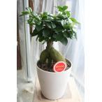 観葉植物 送料込  多幸の樹 ガジュマル 5寸鉢 ギフトにも