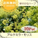 ショッピング苗 アルケミラ・モリス(レディースマントル) 10Potセット