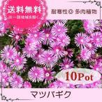 マツバギク10Potセット・苗 多肉植物(セダム) (1Potあたり230円)