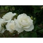 バラ苗 つるバラ 白花 二季咲き