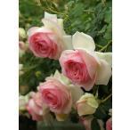 バラ苗 つるバラ バラの殿堂入り品種