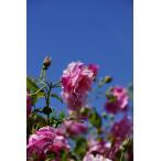 バラ苗 つるバラ ピンク