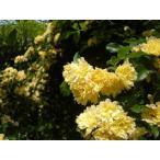 モッコウバラ(黄色)(バラ苗:オールドローズ) 大苗