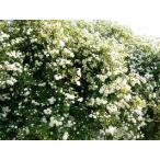 モッコウバラ(白色)(バラ苗:オールドローズ) 大苗予約